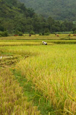 Rice-color-photo-tour