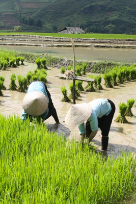 Rice-growing-photo-tours